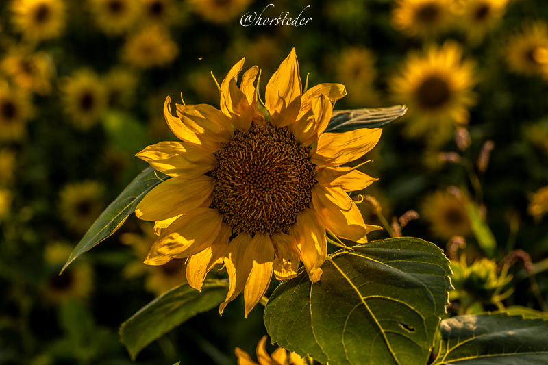 Sonnenblumen die Königin des Sommeres..